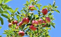Der Obstgarten - Sortenwissen