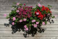 Blütenparadies auf Terasse oder Balkon
